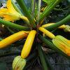 Gloria Squash Spineless oro amarillo de semillas de zapallo