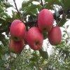 Vers Apple van Nieuw Gewas Yantai