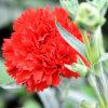 中国からの切りたてのカーネーションの花