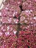 Fleurs fraîches coupées de pivoines herbacées pour mariage decoration