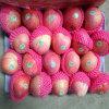 Nuova raccolta di Qinguan rosso fresco cinese Apple