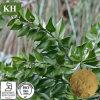 Extrato de vassoura carniceiro Ruscosaponins 3%-26% por UV