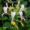 Honeysuchleの花のエキス(Chlorogenic酸25%、98%、99%)