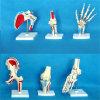 Menschliche Verbindungs-beschriftete Skeleton Anatomie-Modell mit dem Muskel (R020902)