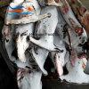 Populaire Aquatische Bevroren Grote Haai Hammerhead
