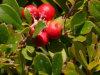 Выдержка листьев 100% естественная UVA Ursi
