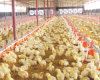 Автоматическое оборудование цыплятины для цыпленка