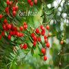 Schisandra Chinensis Schisandrol B 58546-54-6 Réduire les lésions hépatiques chez l'alcool