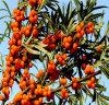 Poudre de fruits/Seabuckthorn Seabuckthorn Extrait Extrait d'Argousier/en poudre Poudre