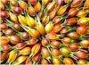 Extrait jaune de la Floride de Gardenia de Gardenia pour des colorants de nourriture