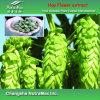 Extrait naturel de fleur d'houblon de 100% (4%, 5% Xanthohumol)