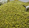Essbare grüne Mungobohne 2015 China-