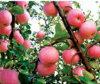 Estrella Apple roja fresca