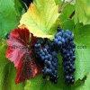 ブドウの花粉、健康食品