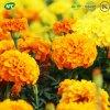 Supplément à la nutrition Pure organiques Marigold (Extrait de la lutéine) / l'oléorésine