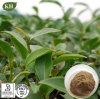 Polifenoli dell'estratto 20%~80% del tè di Oolong di alta qualità da UV