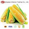 고품질을%s 가진 IQF 단 옥수수 옥수수 속