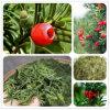 높은 순수성 Taxus Chinensis 잎