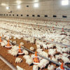 Set pieno Automatic Poultry Equipment per Broiler Production Farm
