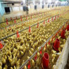 Chambre de poulet de volaille de structure métallique pour la construction