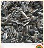 Girasol Seeds para Bird Food