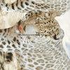 леопард Pigment&Disperse вулкана 100%Polyester напечатал ткань для комплекта постельных принадлежностей