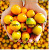 純粋で自然なKumquatのFortunellaの粉
