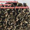 Les graines de tournesol Salted rôties
