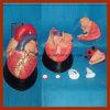 Modelo anatómico de la talla del corazón humano médico grande de la educación (7 PCS)