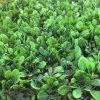 Искусственные завода для пейзажной украшение стены зеленого цвета