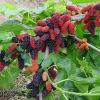 뽕나무 과일 추출물