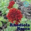 Het Uittreksel/Rosavin/Salidroside van Rosea van Rhodiola