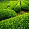 Natuurlijk Middel tegen oxidatie 100% het Zuivere Groene Uittreksel l-Theanine van de Thee