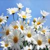 Hersteller der Chrysantheme Extract/FDA; ISO22000; Rein; SGS; Halal.