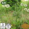 Planta Natural Dandelion Extraia Flavonas e Taraxasterols