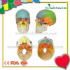 着色された実物大のプラスチック医学の解剖人間の頭骨モデル