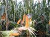 Plantation du maïs avec du bio engrais organique d'Unigrow