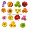 Порошок выдержки хризантемы изготовления естественный