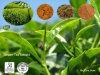Polvere dell'estratto del tè verde del rifornimento stabile del fornitore/dell'estratto tè verde