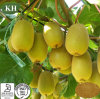 مصنع إمداد تموين عال غذائيّة [كيفي] ثمرة مقتطف