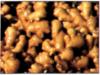 Shandong Ginger