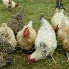 Rede das aves domésticas