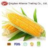 ESPIGA de milho doce de IQF com melhor preço