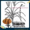 Extracto de rizoma Anemarrhena natural puro en polvo