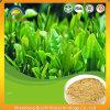 Estratto organico del tè verde con Theanine