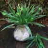 룸 훈장 도매 녹색 정원을%s 인공적인 잔디 공장 직접 녹색 잔디를 위한 Chlorophytum 베스트셀러 작은 잔디