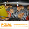 Una trama Chick Pullet pollo granja avícola Jaula jaula para la venta de Pollo