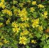Extrait de fleur Chrysanthermum sauvage, Buddleoside10%, no CAS 480-36-4