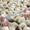 Plein Set Poultry Equipment pour Broiler Houses