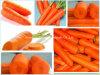 Высокое качество ехпортируя морковь Shandong